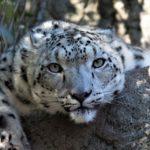 Leopardenweibchen nach Unfall gelähmt