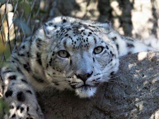 leopardenweibchen indien nach einem unfall gelähmt