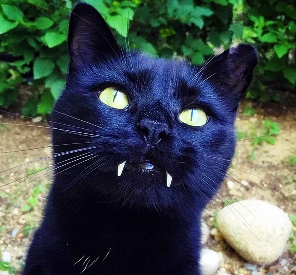 vampirkatze monk alias catula