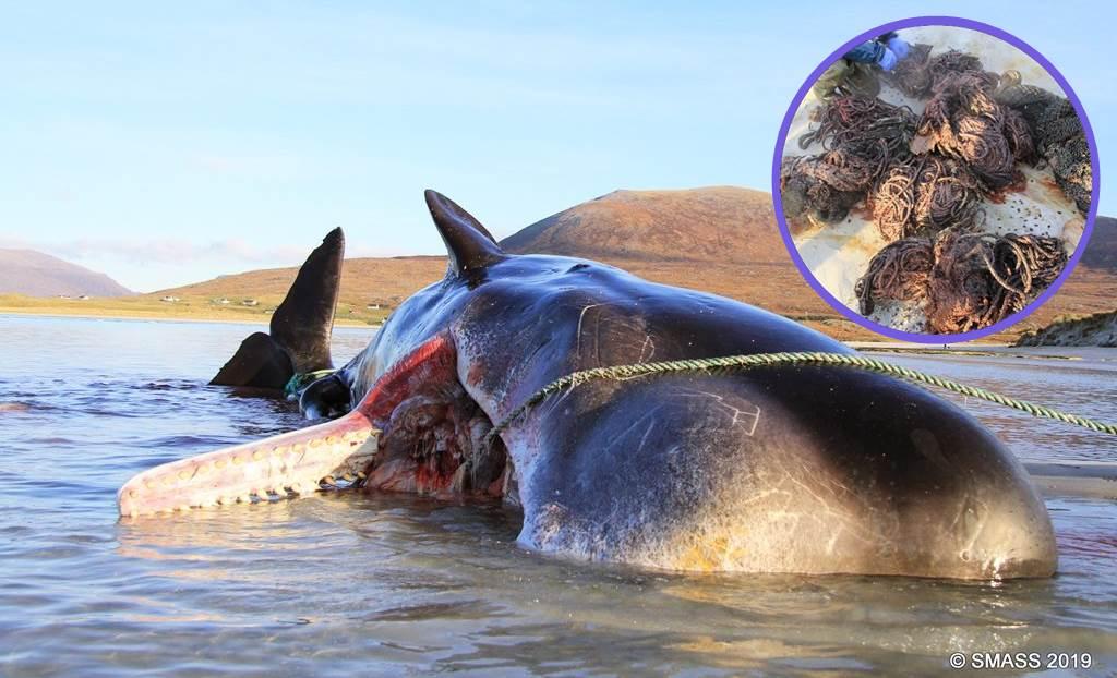 Gestrandet. Pottwal stirbt mit 100 Kg Müll im Magen Fischernetze Plastik Treibgut Titelbild