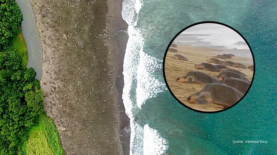 schildkröten invasion costa rica eier legen am strand küste natur klima tierschutz artenschutz